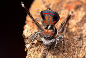 Male Peacock Spider (Maratus amabilis) in full swing, performing his display for a female spider, Australia