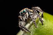 Male Peacock spider (Maratus australis), Western Australia.