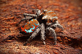 Peacock Jumping Spider (Maratus calcitrans) male, Australia