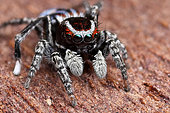 Harris' Peacok Spider (Maratus harrisi) male with gorgeous green eyes, NSW, Australia