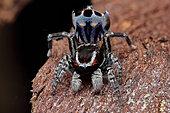 Harris' Peacok Spider (Maratus harrisi) male from NSW, Australia