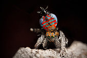 Peacock Jumping Spider (Maratus jactatus) male in full swing, dancing for a female spider, southern QLD Australia.