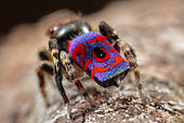 Peacock Jumping Spider (Maratus madelineae) from Western Australia.