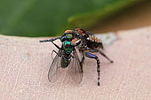Peacock Jumping Spider (Maratus plumosus) Male feeding on a green fly, Australia