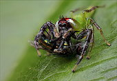 Green jumping spider (Mopsus mormon) Male catching a Fly, QLD, Australia.