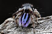 Rear view of Peacock spider (Maratus neptunus) male, NSW Australia.