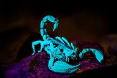 Black rock scorpion (Urodacus manicatus) under UV light, NSW Australia.