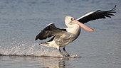 Australian Pelican (Pelecanus conspicillatus) landing on water, Woy Woy, NSW, Australia