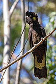 Yellow-tailed Black-Cockatoo (Calyptorhynchus funereus) on a branch, from Pearl Beach Central Coast NSW Australia.