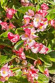 Begonia 'Mega Watt Pink Green Leaf'