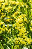 Limonium sinuatum 'Qis Yellow'