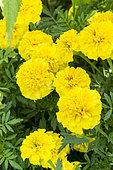 Tagetes patula 'Yellow Boy'
