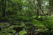 Swampy forest, Stampfthal, Biological Reserve, Vosges, France
