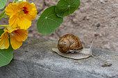 Snail of Burgundy (Helix pomatia), summer, Alsace, France