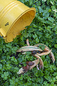 Realization of a slug trap with melon peels, summer, Moselle, France