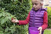 Girl picking a raspberry in a garden, autumn, Pas de Calais, France