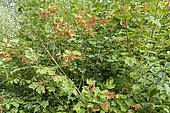 European cranberrybush (Viburnum opulus) in fruit in a garden, summer, Pas de Calais, France