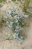 Seaside eryngo (Eryngium maritimum) in a dune, summer, Pas de Calais, France