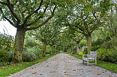 Alley lined with Japanese cherry trees at Valloires Abbey Gardens, autumn, Somme, France