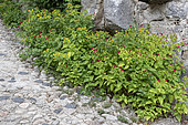 Marvel-of-peru (Mirabilis jalapa) along a stone wall, summer, Ardèche, France