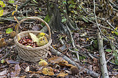 Harvest of chestnuts in a wicker basket in a forest, autumn, Moselle, France
