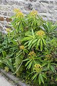 Euphorbia mellifera in a garden, spring, Cotentin, France