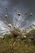 Paepalanthus (Paepalanthus formosus) Moldenke, regional endemic plant in the place called Ciudad de Piedra, San José del Guaviare, Colombia