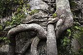 Root of a Clusiaceae (Clusiaceae) in the place called Ciudad de Piedra, San José del Guaviare, Colombia