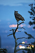Eagle Owl (Bubo bubo) with lights from city, Vosges, France
