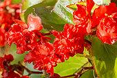 Begonia semperflorens 'Fiona Red'