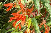 Begonia tuberhybrida 'Pin-Up Flame'