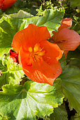 Begonia tuberhybrida 'Non Stop Orange'