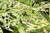 Dégâts dûs aux limaces, Hosta undulata 'Albomarginata'
