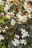 Begonia 'BabyWing White Bronze Leaf'