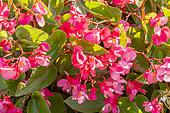 Begonia semperflorens 'Dragon Wing Rose'