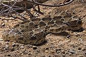 Egyptian saw-scaled viper (Echis pyramidum) on sand, Egypt