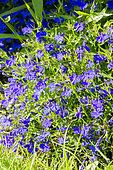 Lobelia pendulifolia 'Crystal Palace'