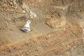 Northern Fulmar (Fulmarus glacialis) brooding on its nest, Iceland