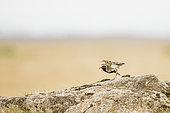 European golden plover (Pluvialis apricaria) bridal livery, Iceland
