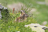 Alpine Marmots (Marmota marmota), Vanoise, Alps, France