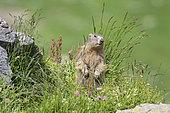 Alpine Marmot (Marmota marmota), Vanoise, Alps, France