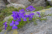 Long-spurred Pansy (Viola calcarata) flowers, Vanoise, Alps, France