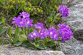 Primrose (Primula marginata) flowers, Vanoise, Alpes, France