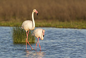 Greater Flamingo (Phoenicopterus roseus). A male in the mood for mating follows a female. At the Laguna de Fuente de Piedra near the town of Antequera. This is the largest natural lake in Andalusia and Europe's only inland breeding ground for this species. Malaga province, Andalusia, Spain.