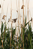 Common Cuckoo (Cuculus canotus) in a reed bed of the Danube Delta, Romania