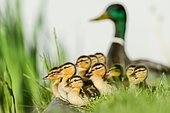 Mallard (Anas platyrhynchos), group of ducklings with drake at back, Hamburg, Germany, Europe