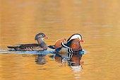 Mandarin Ducks (Aix galericulata), pair in courtship display, Hesse, Germany, Europe