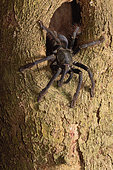"Black Sulawesi tarantula (Cyriopagopus sp) ""Sulawesi black"",Tangkoko NP, Sulawesi"