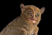 Western tarsier (Cephalopachus bancanus), Belitung, Indonesia.