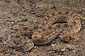 Horned viper (Cerastes cerastes).